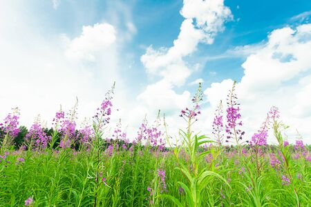 Photo for Cyprus or Ivan tea blooming in a meadow field. Selective focus. Horizontal frame. - Royalty Free Image