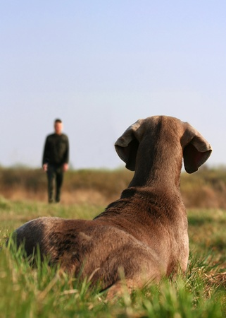 Weimaraner dog lying in the grass pays attention to the trainer