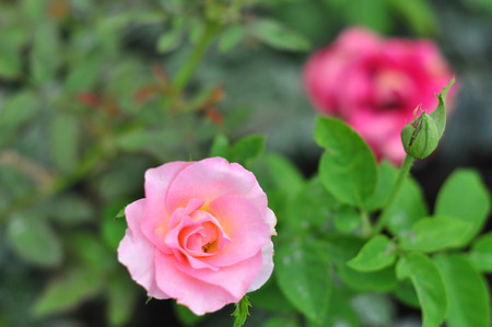 pink rose and dof