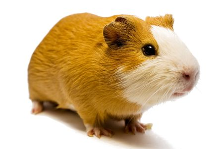 curious guinea pig on the white backgroundの写真素材