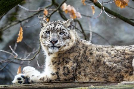 Photo pour Snow leopard - Irbis (Panthera uncia). - image libre de droit