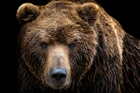 Photo pour Front view of brown bear isolated on black background. Portrait of Kamchatka bear (Ursus arctos beringianus) - image libre de droit
