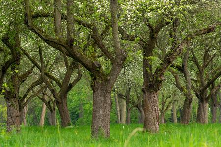 Foto de Cherry orchard. Tree trunk cherry in a row. Cherry trees alley. - Imagen libre de derechos