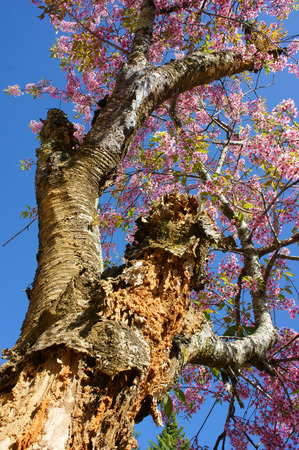 Spring flower, beautiful nature with sakura bloom in vibrant pink, cherry blossom is special of Dalat, Vietnam, blossom in springtime, amazing old tree, nice view, up to sky make abstract background