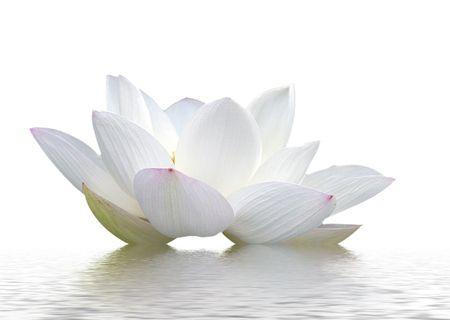 lotus, petal, flowers,