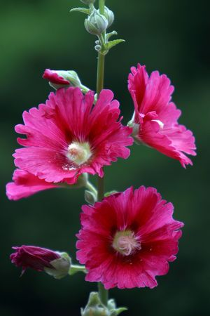 Plants, flowers, hollyhock,