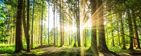 Photo for Forest panorama with sunbeams - Royalty Free Image