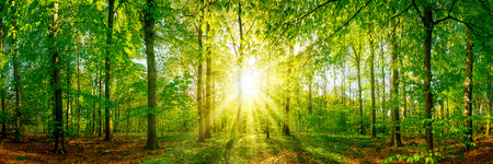 Photo for Forest panorama with sun rays - Royalty Free Image