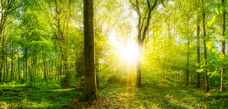 Forest with sunshine
