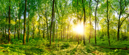 Photo pour Beautiful forest panorama with bright sun shining through the trees - image libre de droit
