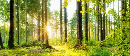 Idyllic forest with spruce trees and bright sun shining through the trees