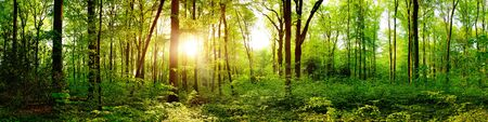 Photo pour Panorama of a beautiful green forest with bright sun shining through large trees - image libre de droit