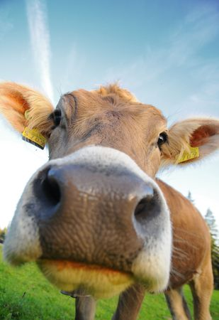 cow sniffing