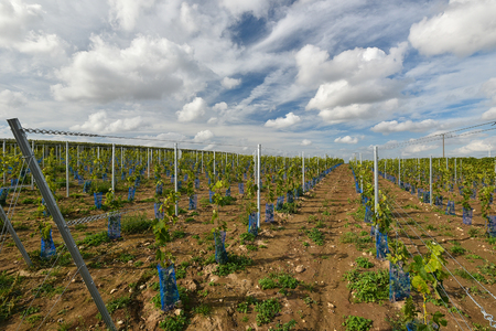 recently planted vineyard in germany in autumn