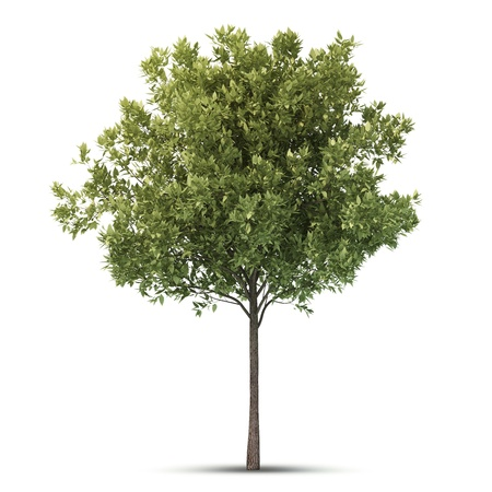Hi resolution beatiful tree  Isolated image