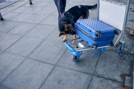 Photo for German Shepherd dog sniffing travel suitcase while searching for drugs - Royalty Free Image