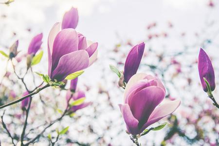 Photo pour background of blooming magnolias. Flowers. Selective focus nature - image libre de droit