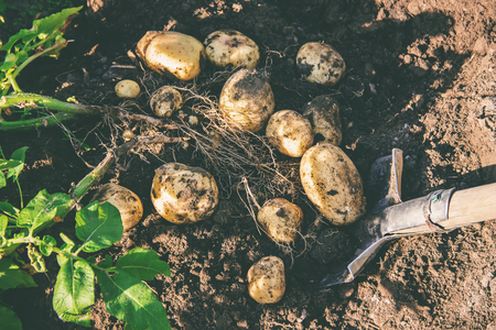 organic homemade vegetables in the hands of male potatoes. nature.