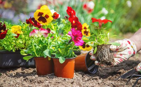 Photo for The gardener is planting a flower garden. Selective focus. nature. - Royalty Free Image