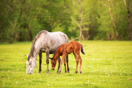 Photo pour Mother horse with her foal grazing on a spring green pasture against a background of green forest in the setting sun - image libre de droit