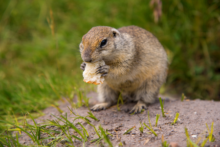 Ground Squirrel on the nature
