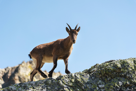 Photo for Young female alpine Capra ibex looking at the camera and standing on the high rocks stone in Dombay mountains against the sky. North Caucasus. Russia - Royalty Free Image