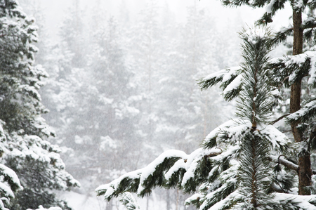 Photo for Winter landscape with a pine forest covered with snow during a snowfall with snow-covered tree branches in the foreground - Royalty Free Image