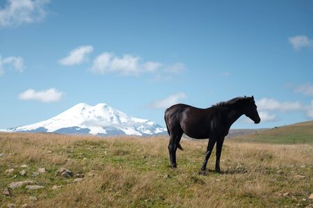 A wildly grazing black horse on an alpine pasture of the North Caucasus. Farm Mining Concept