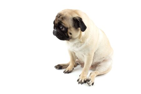 Photo pour Cute pug dog looking innocent. Very sad dog isolated - image libre de droit