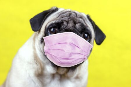 Photo pour Pug dog with a medical mask and sad big eyes. Quarantine and isolation during coronavirus - image libre de droit