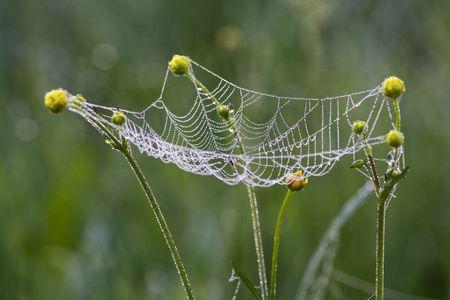 Photo pour Web hanging on colors of a buttercup - image libre de droit
