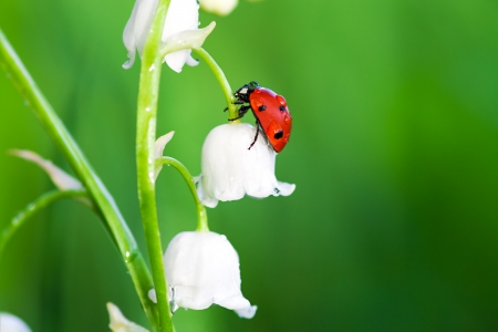 the ladybug sits on a flower of a lily of the valley