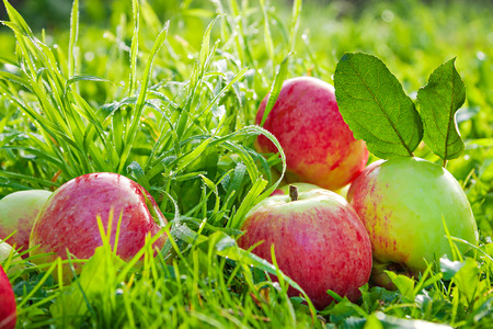 Fruits ripe, red, juicy apples lie on a green grass. a harvest of apples in an autumn orchard