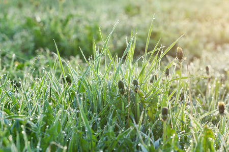 green grass with drops of dew on a spring meadow. sun shines equally on morning on field