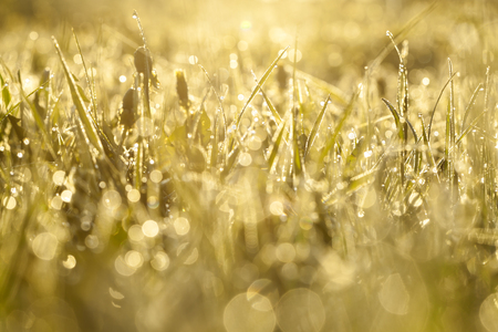 green grass with drops of dew on a spring meadow. sun shines equally on morning on field. blur background grass on  meadow