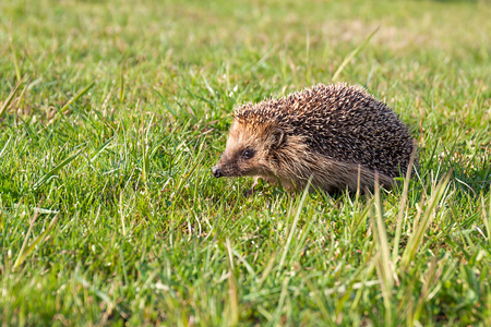 wildlife young european hedgehog on green grass. wild life nature