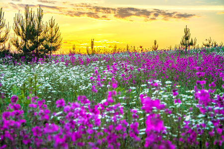 beautiful spring landscape with blooming wild flowers in meadow and sunrise. summer field with flowering purple flowers, blurred background