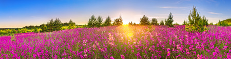 beautiful spring landscape panorama with flowering flowers in meadow and sunrise. panoramic view of a blooming field with purple wild flowers