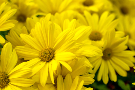 Photo for Background of yellow daisies - Golden Butterfly Marguerite Daisy Argyranthemum - Royalty Free Image