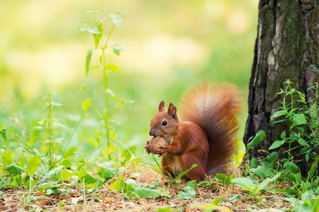 Photo pour A red squirrel stands near a tree with a nut. - image libre de droit