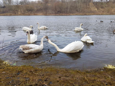 Photo for The swan family swims on the river. Many swans in one photo - Royalty Free Image