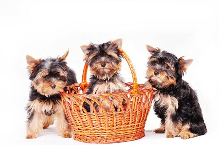 Photo pour Three Yorkshire terrier puppy on a white background playing in a basket - image libre de droit
