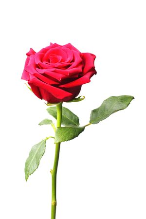 Photo for Red rose on a white background, close-up, isolate. - Royalty Free Image