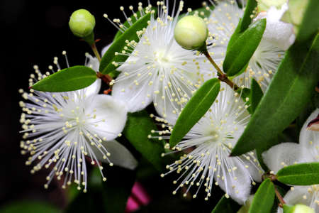 Photo for Macro photo flowers of myrtle or Myrtus communis close-up on a dark background. - Royalty Free Image