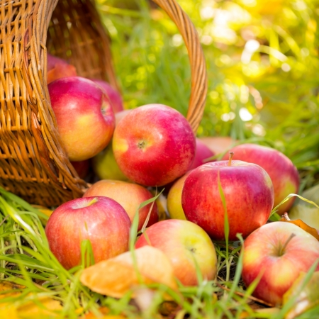 Red apples in autumn outdoors. Thanksgiving holiday concept