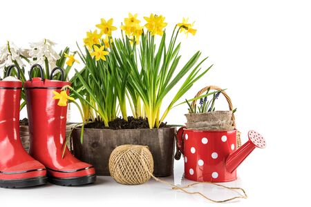 Photo for Spring flowers in pot with red rubber boots and garden tools. Gardening floriculture farming. Still life with yellow lent lily, isolated on white background. - Royalty Free Image