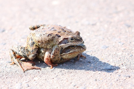 two frogs embraced on the road on a sunny day