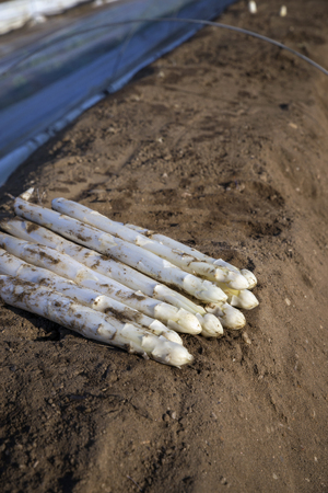 Fresh cut white asparagus as close-up on soil