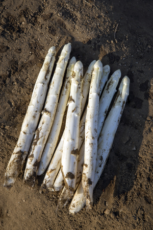 Fresh cut white asparagus as close-up soil