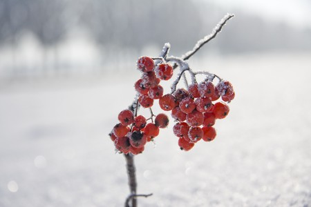Branch of rowan in the snow near the road